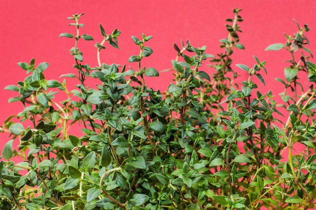 Thyme leaves is a Natural Remedies for Cough