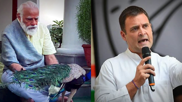 'Save your own life as PM Modi busy with peacock' – Rahul Gandhi